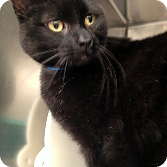 Domestic Shorthair Cat for adoption in Las Vegas, Nevada - Little Richard a.k.a. Dick
