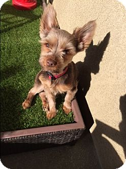 Yorkie, Yorkshire Terrier Mix Dog for adoption in Canyon Country, California - Yoda