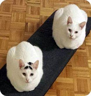 Domestic Shorthair Cat for adoption in Oakville, Ontario - Meeko & Milo