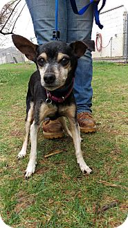 Miniature Pinscher Mix Dog for adoption in New Milford, Connecticut - Tequila