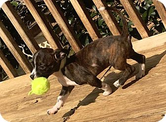 Boston Terrier/Chihuahua Mix Puppy for adoption in Courtland, Alabama - Rocket
