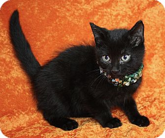 Domestic Shorthair Kitten for adoption in Jackson, Michigan - Robin