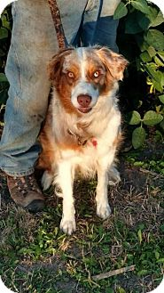 Australian Shepherd Dog for adoption in Minneapolis, Minnesota - Skye