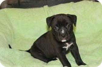 Pit Bull Terrier Puppy for adoption in New Smyrna Beach, Florida - Ripley***Hold***