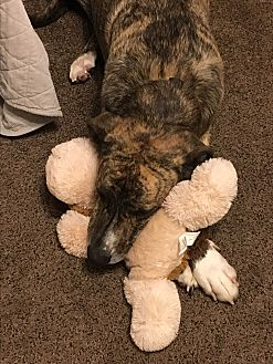 Great Dane/Labrador Retriever Mix Dog for adoption in Phoenix, Arizona - Fabio