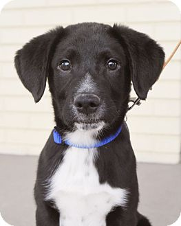 Labrador Retriever Mix Puppy for adoption in Knoxville, Tennessee - Lego