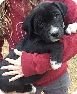 American Bulldog/Retriever (Unknown Type) Mix Puppy for adoption in Twinsburg, Ohio - Zita (12 lb) Video!