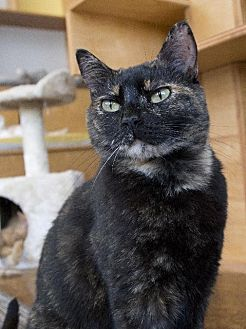 Domestic Shorthair Cat for adoption in St. Louis, Missouri - Marni