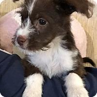 Adopt A Pet :: Audrey - East Hartford, CT