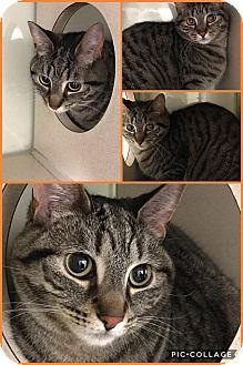 Domestic Shorthair Cat for adoption in Cheboygan, Michigan - BAINE