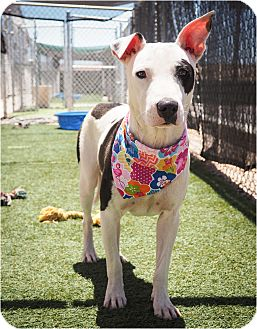 American Pit Bull Terrier/Whippet Mix Dog for adoption in Phoenix, Arizona - Sweet Pea