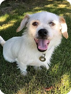 Shih Tzu/Wirehaired Fox Terrier Mix Puppy for adoption in Bedminster, New Jersey - Arthur
