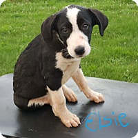 Great Pyrenees/Labrador Retriever Mix Puppy for adoption in Albany, North Carolina - Elsie