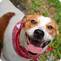Adopt A Pet :: Amber-URGENT - Plainfield, CT