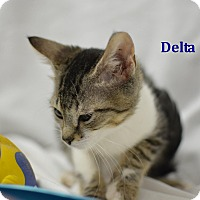 Domestic Shorthair Kitten for adoption in Miami Shores, Florida - Delta