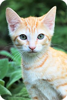 Domestic Shorthair Kitten for adoption in Huntsville, Alabama - Lena