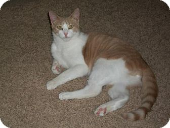 Domestic Shorthair Cat for adoption in Montello, Wisconsin - Toonces (Courtesy Post)