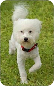 Bichon Frise Mix Dog for adoption in La Costa, California - Jake