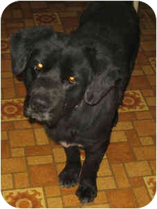 Labrador Retriever/Retriever (Unknown Type) Mix Dog for adoption in Columbus, Ohio - YOGI