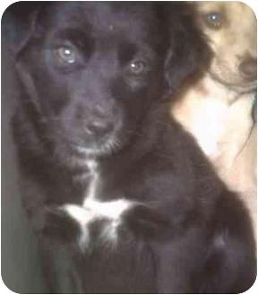 Shepherd (Unknown Type)/Terrier (Unknown Type, Medium) Mix Puppy for adoption in Muskogee, Oklahoma - Margaret