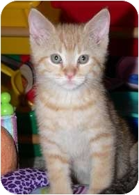 Domestic Shorthair Kitten for adoption in Tampa, Florida - Spencer