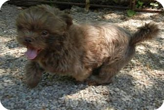 Shih Tzu Dog for adoption in Antioch, Illinois - Rusty ADOPTED!
