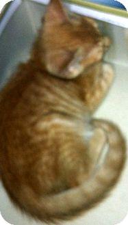 Domestic Shorthair Kitten for adoption in Jacksonville, Florida - Percy