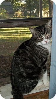 Domestic Shorthair Cat for adoption in Bentonville, Arkansas - Big Boy