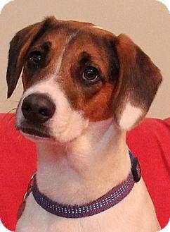 German Shorthaired Pointer Mix Dog for adoption in Smithfield, North Carolina - Liam