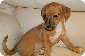 Dachshund/Beagle Mix Puppy for adoption in Umatilla, Florida - Wiggles