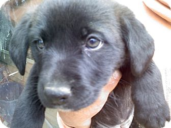 Retriever (Unknown Type) Mix Puppy for adoption in Harrisburgh, Pennsylvania - Parker