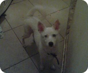 American Eskimo Dog Mix Puppy for adoption in Crosby, Texas - Juno