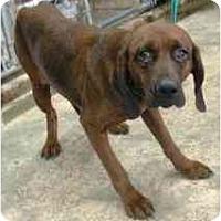 Adopt A Pet :: Redbone Mix - Alliance, OH
