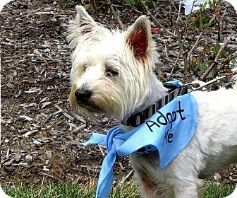 Westie, West Highland White Terrier Mix Dog for adoption in Shelter Island, New York - Vanner