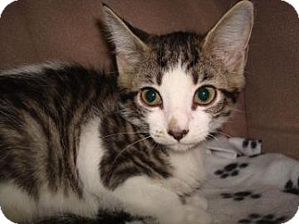Domestic Shorthair Cat for adoption in Miami, Florida - Harlow