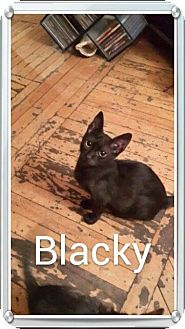 Egyptian Mau Kitten for adoption in Turnersville, New Jersey - Keme (Blacky) and Max