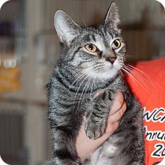Domestic Mediumhair Kitten for adoption in New Martinsville, West Virginia - Jakey