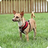Adopt A Pet :: Chaunsey - Peru, IN