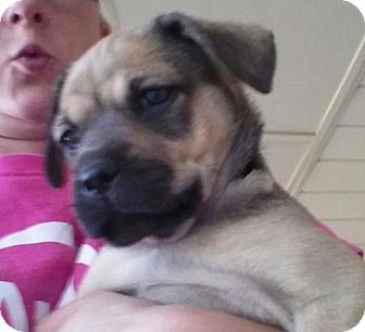 Pit Bull Terrier/Terrier (Unknown Type, Medium) Mix Puppy for adoption in Odessa, Texas - Lady
