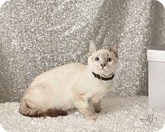 Siamese Kitten for adoption in Harrisonburg, Virginia - Sake