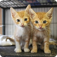 Adopt A Pet :: pumpkin & spice - Morriston, FL