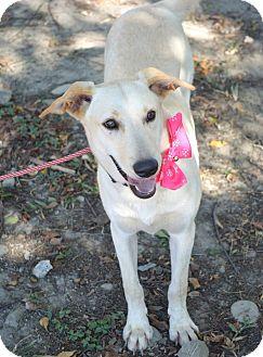 Labrador Retriever Mix Puppy for adoption in San Francisco, California - Cindy