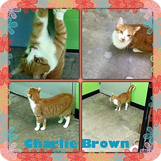 Domestic Shorthair Cat for adoption in Bryan, Ohio - Charlie Brown