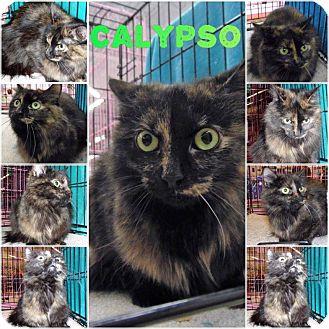 Domestic Longhair Cat for adoption in Northfield, Ohio - Calypso