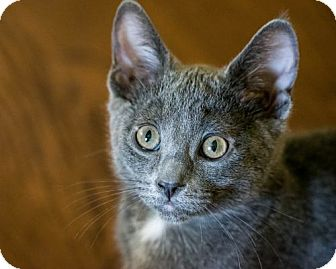 Domestic Shorthair Kitten for adoption in Pasadena, California - Phoebe
