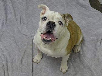 English Bulldog Mix Dog for adoption in Santa Ana, California - Bubba Sr.