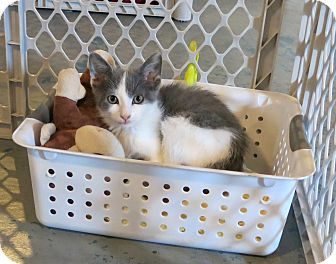 Domestic Shorthair Cat for adoption in Geneseo, Illinois - Joliet Jake