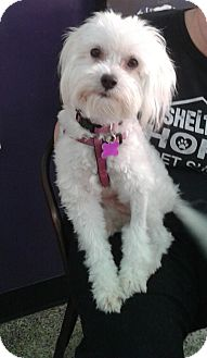 Maltese Mix Dog for adoption in Thousand Oaks, California - Kimber