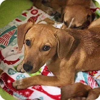 Labrador Retriever/Beagle Mix Puppy for adoption in Rosemount, Minnesota - Basil