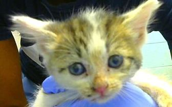 Domestic Shorthair Kitten for adoption in Decatur, Georgia - Goober-Adopted